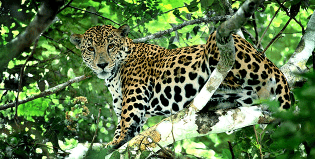 Jaguar perched on tree limb, staring at camera
