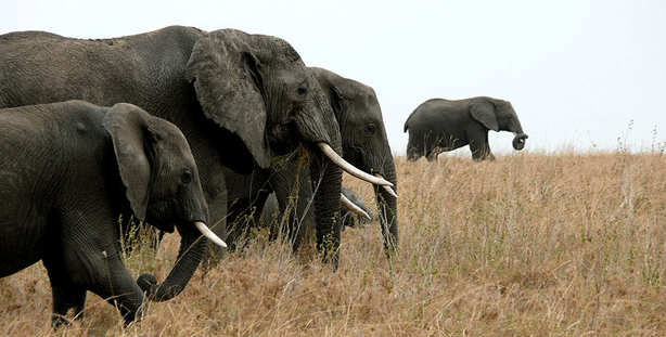 Three adult and one juvenile African elephants walk together through grassy plains