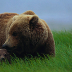 Mother bear and her cub in a grassy field