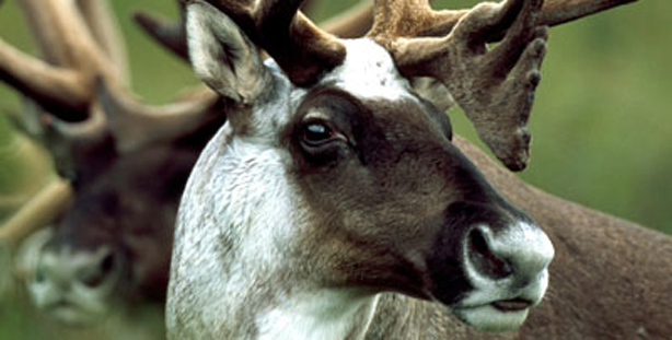 Close-up of a caribou, a deer-like animal with large antlers