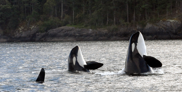 Two killer whales sticking heads out of water (i.e. a spy hop)