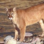 mountain lion on river bank