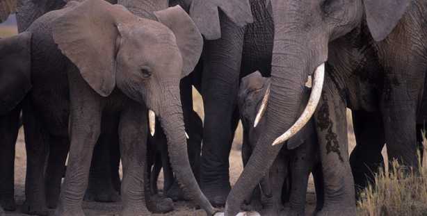 Group of adult elephants inspecting a tusk from poached elephant