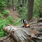 border collie on a log