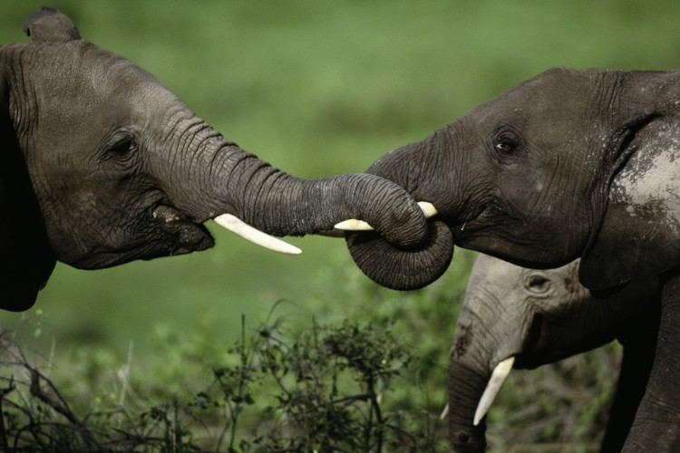 close up of two elephants with tusks intertwined