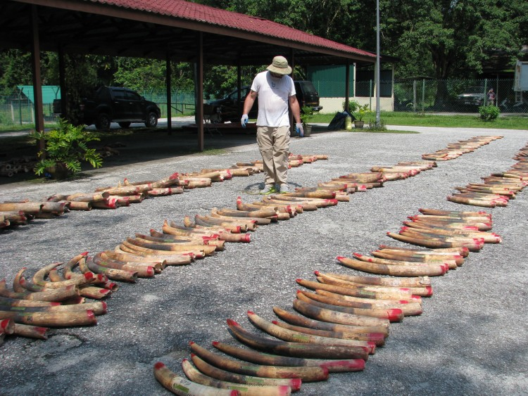 Dr. Wasser walks down rows of tusks lined up by size, looking for pairs.