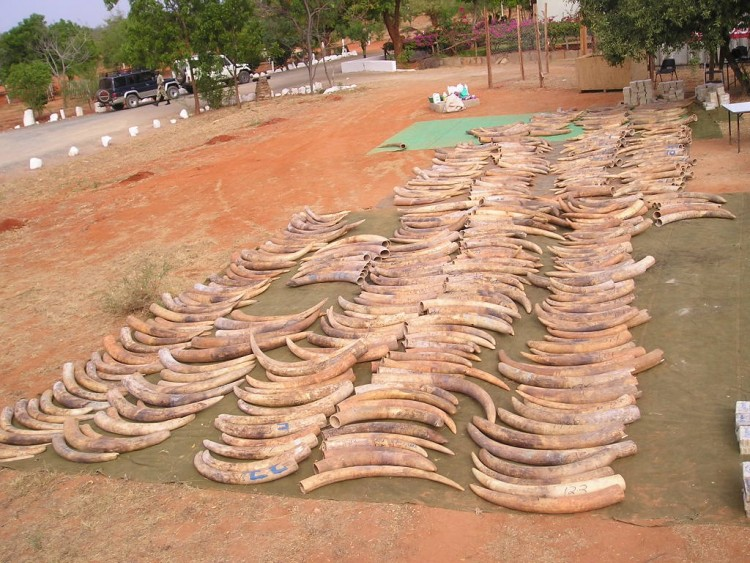 Hundreds of elephant tusks are lined up on the red earth in Africa