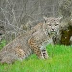 A bobcat crouches in the grass, looking at the camera