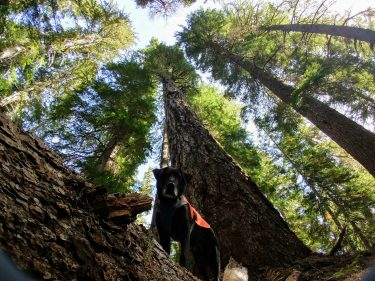 A photo looking up from the ground at the tall trees as a black lab looks down at the camera from a fallen tree