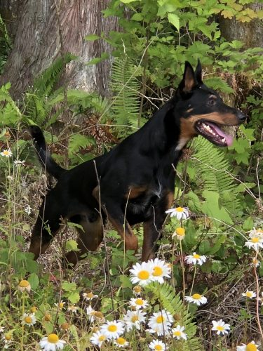 Black and tan dog stands before a tree, facing right with his nose high in the air.