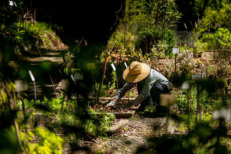 Gardener with kneels to work among plant rows.