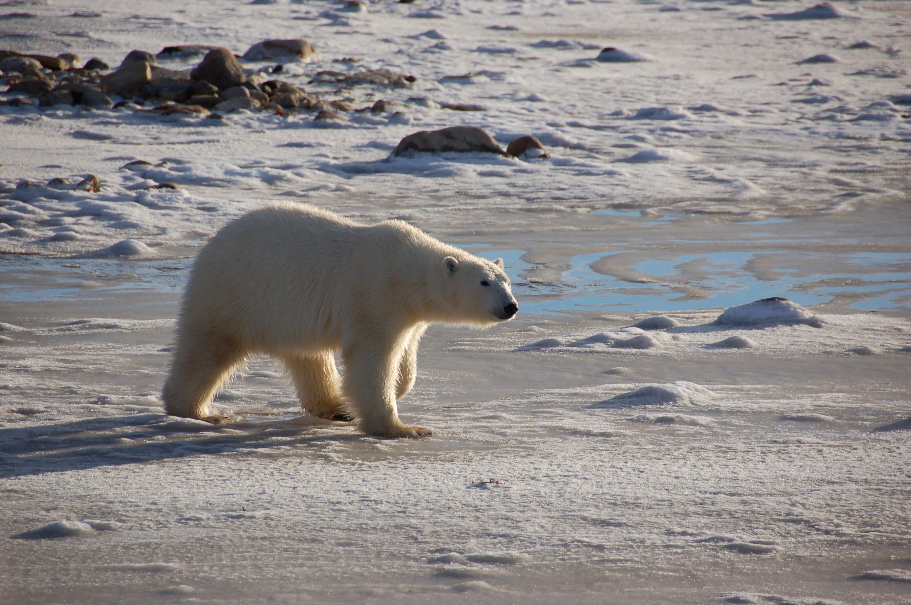 A female polar bear walks in the tidal area along Canadas Hudson Bay in autumn 2010, waiting for ice to form. (Credit: Steven C. Amstrup, Polar Bears International)