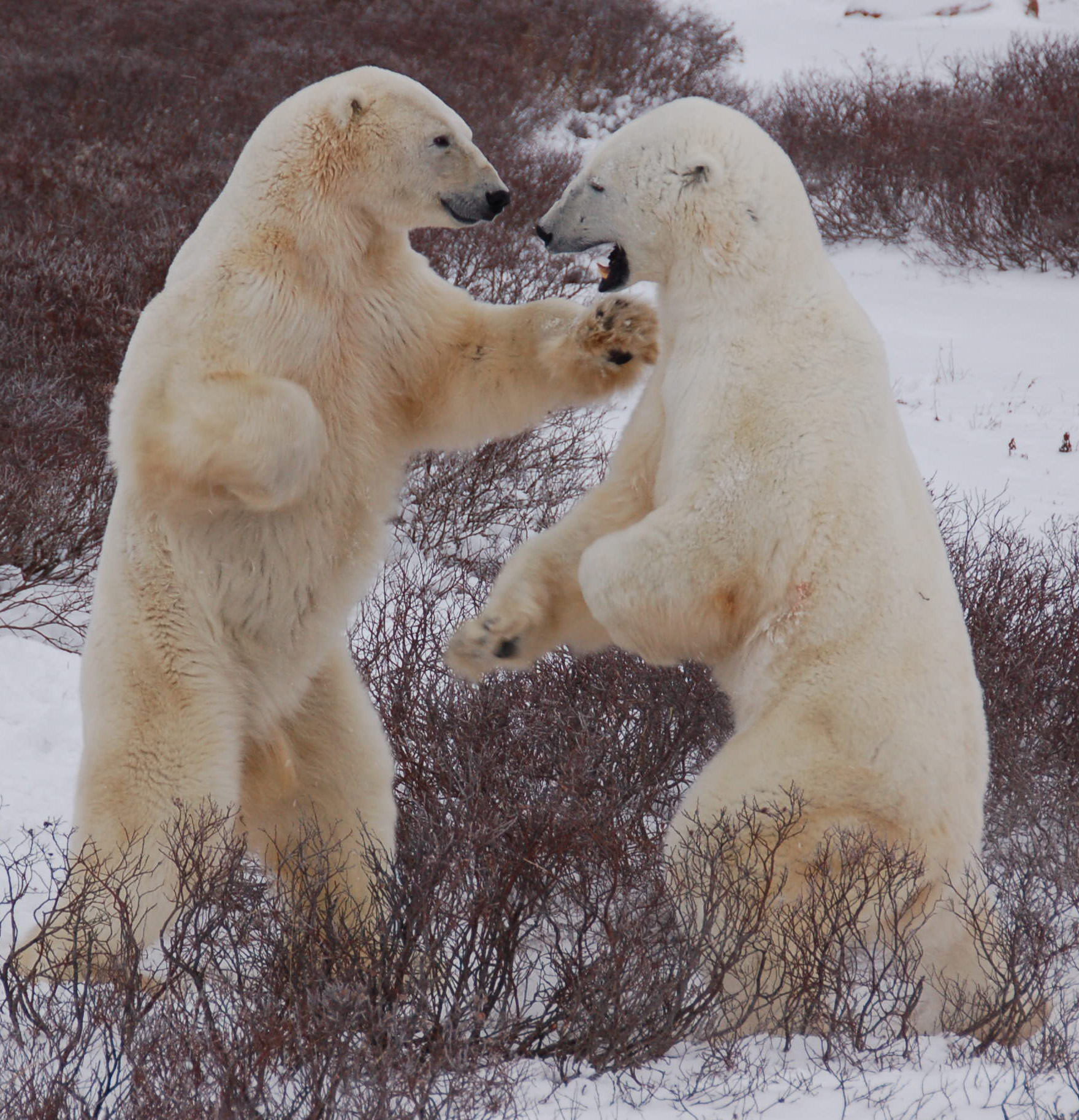 Two male polar bears playfully spar near Hudson Bay, where sea ice melts in the summer and then reforms in the autumn. The bears need the ice in late summer and fall to be able to reach their prey, primarily seals. (Credit: Steven C. Amstrup, Polar Bears International)