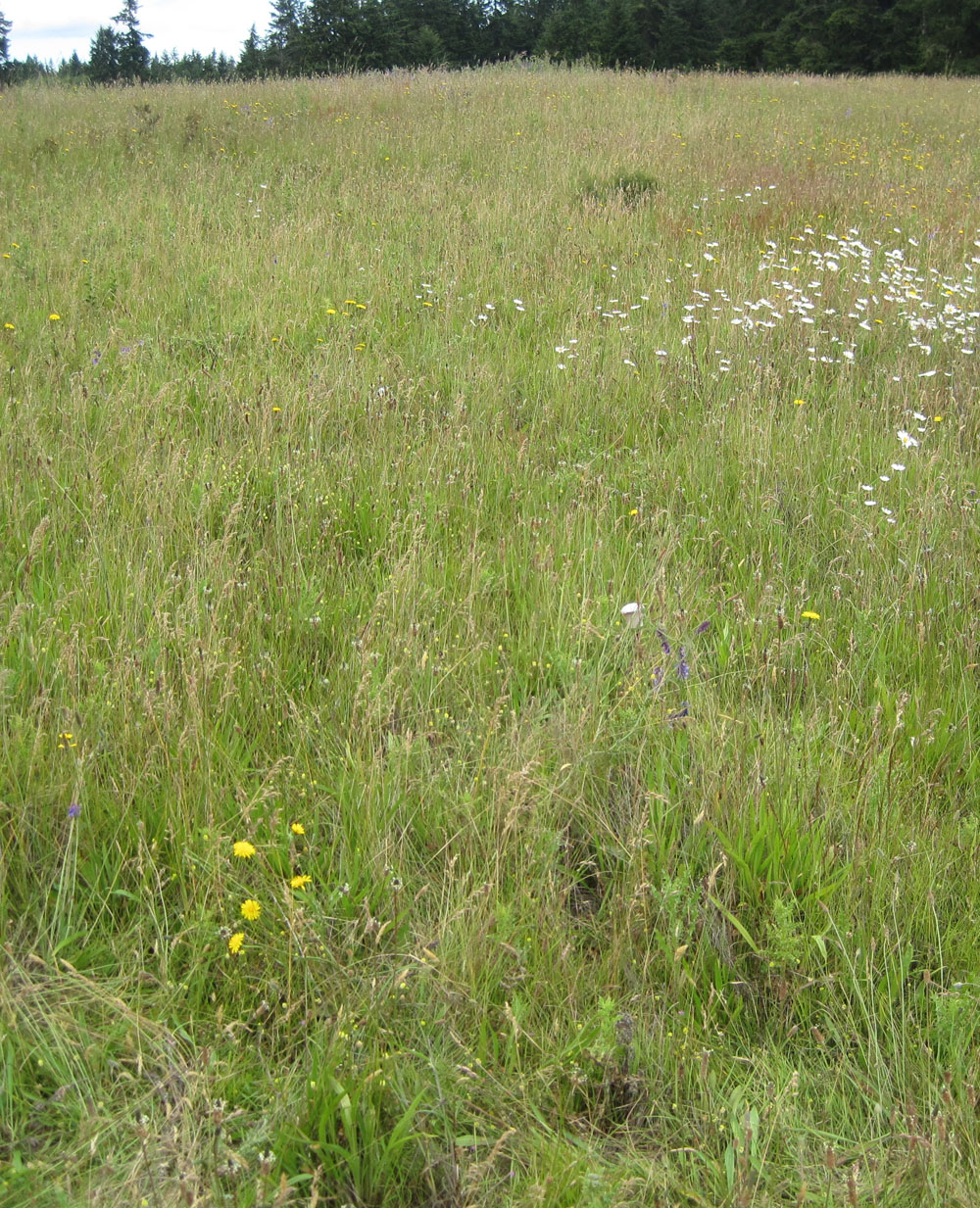 The vast majority of the species pictured at this Whidbey Island site are invasives. They include nine of the 26 study species such as common dandelion and sweet vernal grass. Credit required: University of Washington
