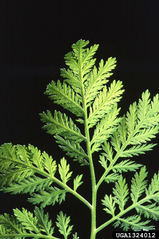 Annual wormwood, Artemisia annua L., yields the important antimalarial drug artemisinin. Researchers at UW and WSU are exploring its ability to treat cancer.
