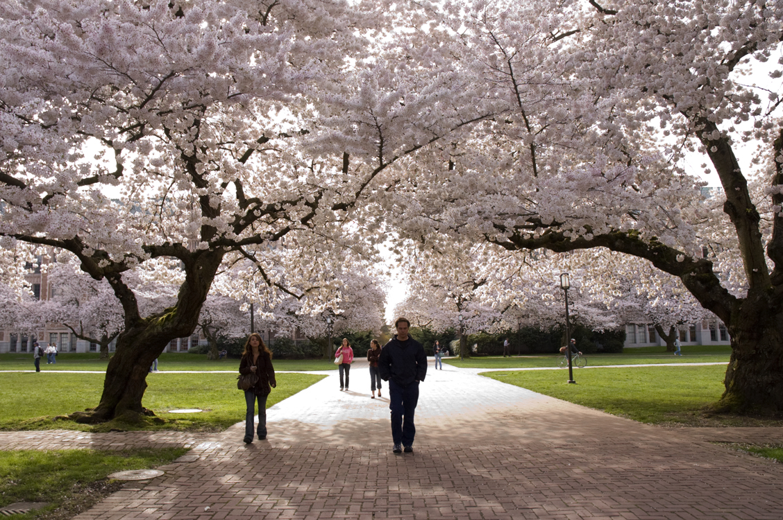 The Quad's famous cherry blossoms are the subject of inquires all through March: 'Are they blooming yet?'