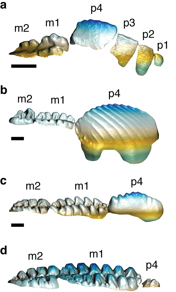 The teeth of multituberculate mammals evolved from simpler dentition around 150 million years ago (top) to a substantially more complex form by the time dinosaurs died out 66 million years ago (bottom). Blade-like teeth farther forward in the mouth, at right in each image, became continually less prominent in plant eaters.