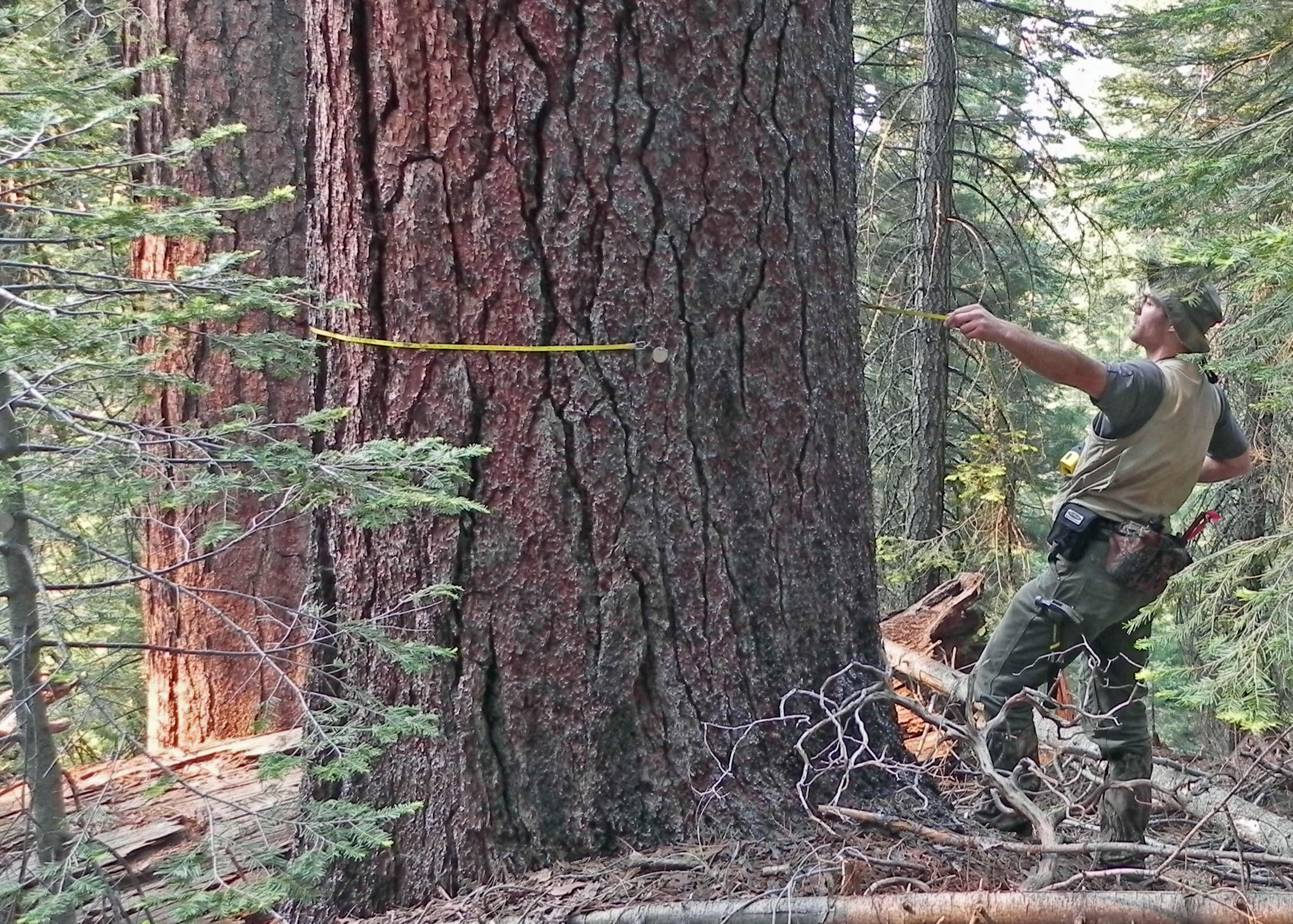Washington State University's Mark Swanson pulls a tape tight around a 4-foot-wide sugar pine, one of the 34,500 live trees counted and tagged for long-term study in a Yosemite National Park study plot.