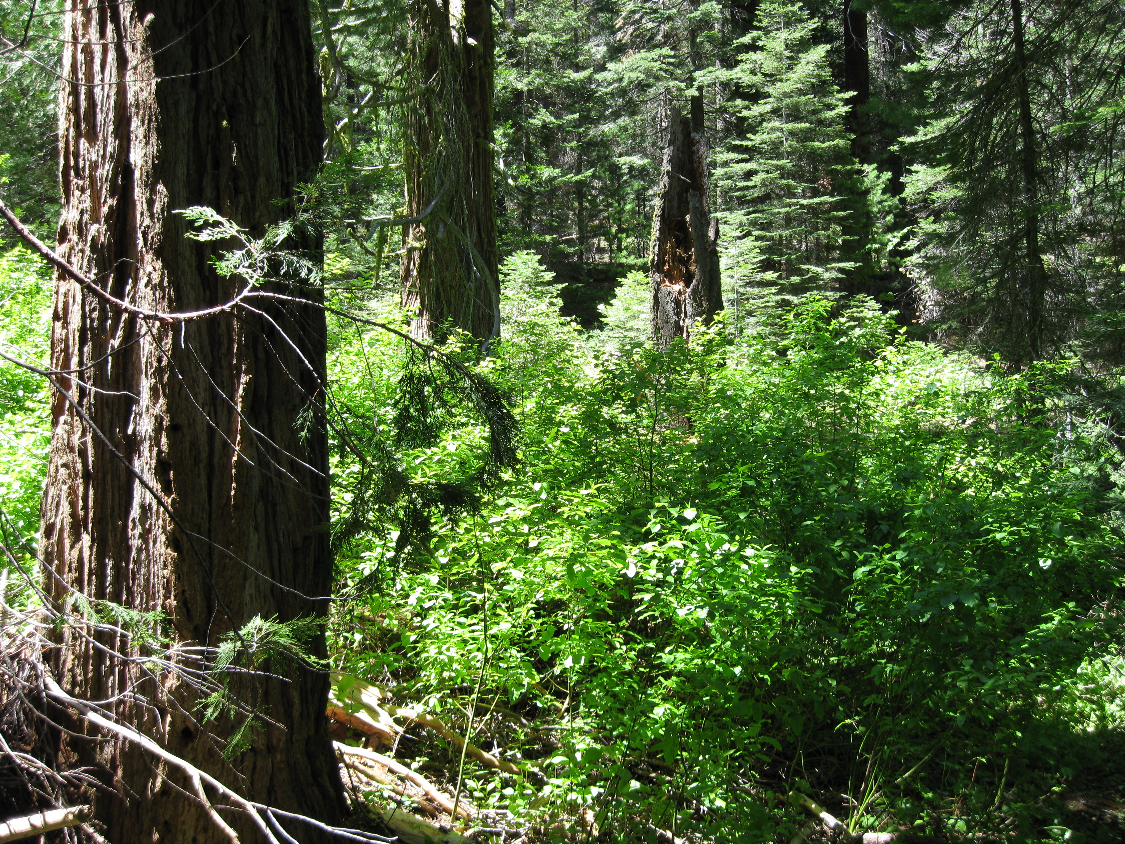 A handful of large-diameter trees per acre, such as these incense cedars, together with remains of big trees like the three-foot-wide white fir snag and downed debris account for half the forest biomass at a Yosemite National park study site.