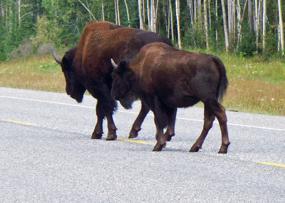 While bison cross this highway, they and other mammals may be less able to traverse or go around human-dominated landscapes, such as cities, found in the path the animals are taking to territory with climate that suits them.