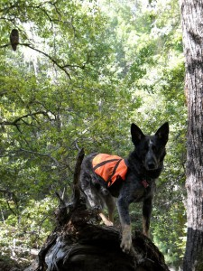 Northern spotted owl and detection dog in forest