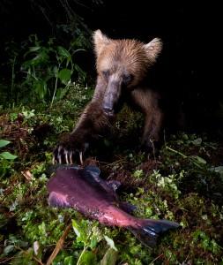 Bear claws salmon on streambank