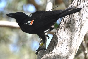 New Caledonian crow with UW tag