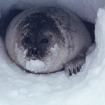 a ringed seal looks out from its snow cave
