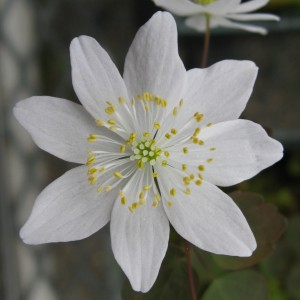 Wild type T. Thalictroides, or rue anemone