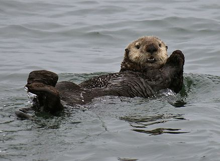 Sea otter swims in water