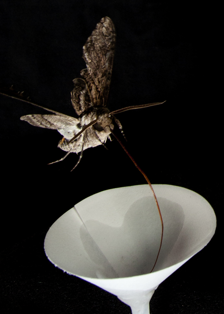 Moth hovers over paper flower emitting key odors