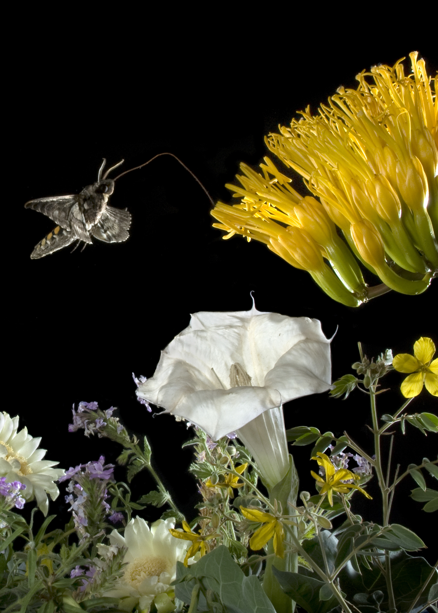 Moth hovers near bright yellow flower seeking nectar