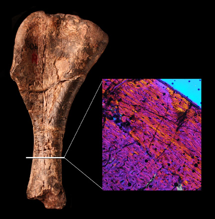 Fossilized dinosaur humerus and color image of cells in the bone