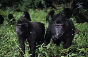a group of black macaques in Indonesia