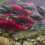 A dolly varden trout swims under dozens of sockeye salmon