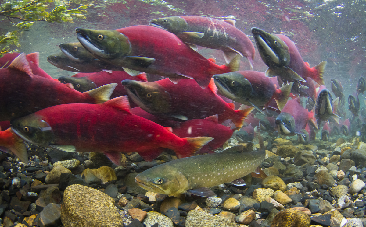Dolly Varden swims below dozens of sockeye salmon