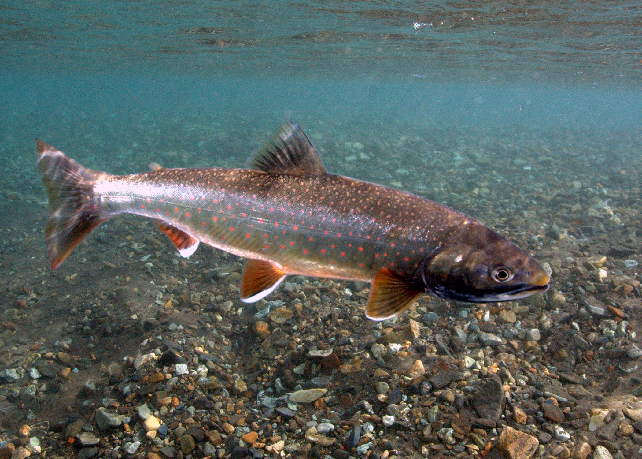 Dolly varden swims in river