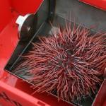 photo of sea urchin
