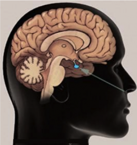 location of pituitary gland in brain