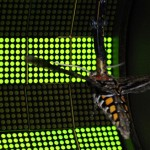 A hawkmoth is tethered in a circular flight arena and surrounded with an LED display system.