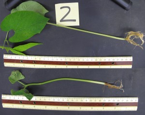 A bean plant treated with hydrogen sulfide is much larger at two weeks growth than an untreated plant.
