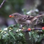 Bird sits on brach had red chili pepper in beak