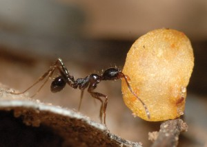 Ant carries seed bigger than it is