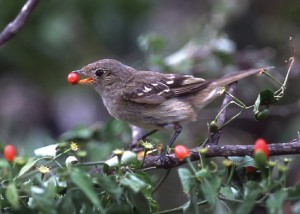 Bird with berry in its mouth perches on branch