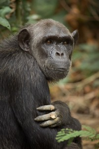 Ashmael a great ape