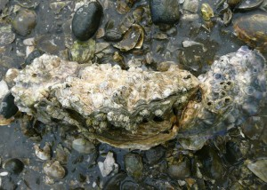 Two barnacle covered oysters in shallow water