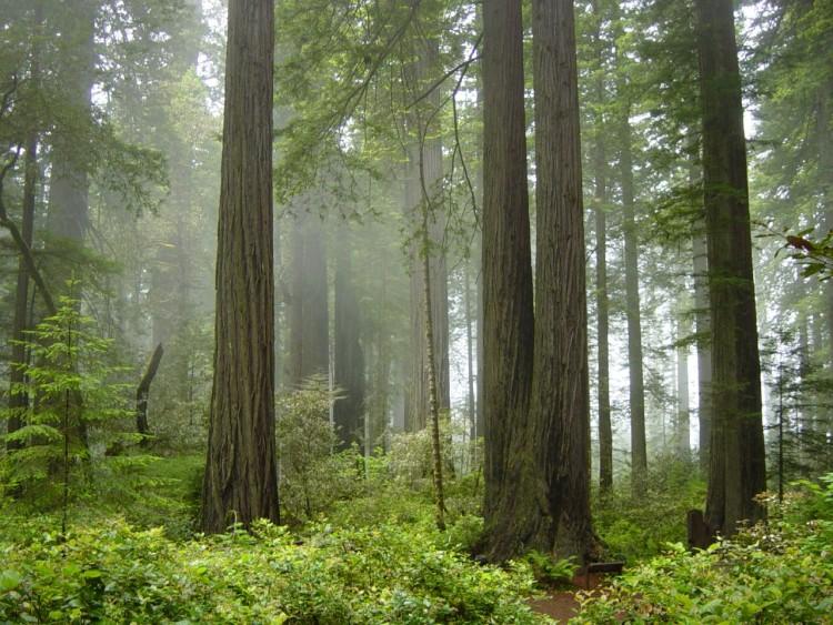 Redwood trees reveal history of West Coast rain, fog, ocean