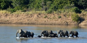Elephants cross a river in Zambia