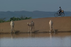 Camels sip water from a man-made pond in Kenya, while a biker passes by.