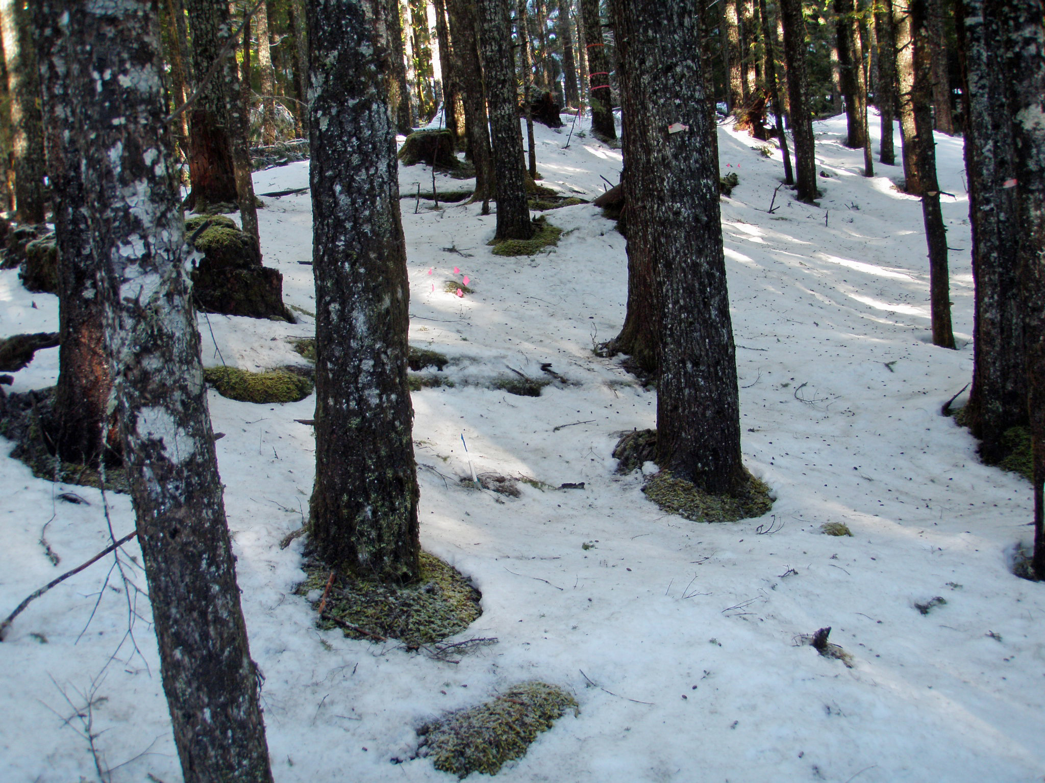 Snow is melting around the base of these trees in a dense, second-growth forest.